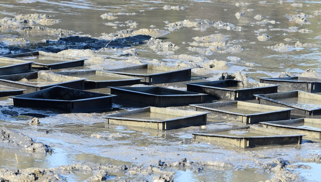 Clam settlement boxes in the mud